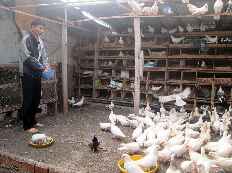 Thức ăn cho chim bồ câu theo độ tuổi. Chi phí thức ăn cho chim bồ câu