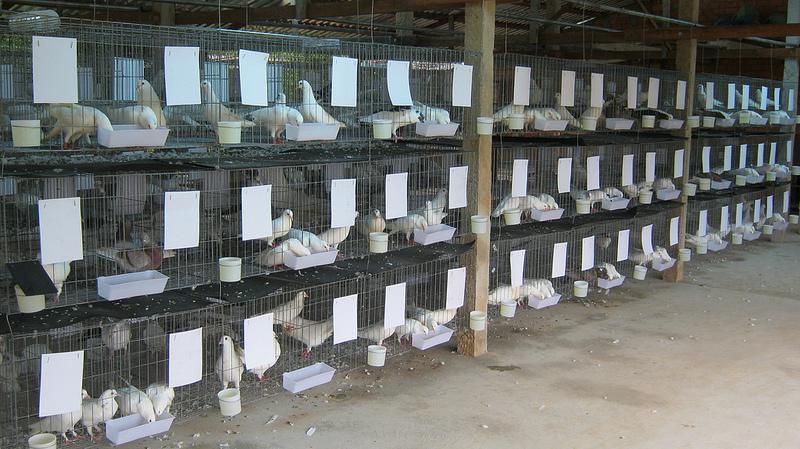 Giá bồ câu gà giống. Giá chim bồ câu gà thịt. Trang trại bán bồ câu giống