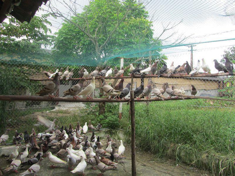 Cách làm chuồng nuôi bồ câu nhốt. Cách làm chuồng nuôi bồ câu thả rong