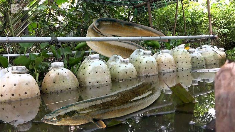 Hướng dẫn kỹ thuật nuôi lươn đồng trong can nhựa