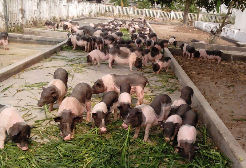 Giá lợn Móng Cái giống. Giá lợn Móng Cái thịt. Địa chỉ bán lợn giống uy tín
