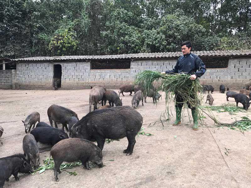 Giá heo rừng giống.Giá thịt heo rừng.Nơi bán giống lợn rừng thuần chủng