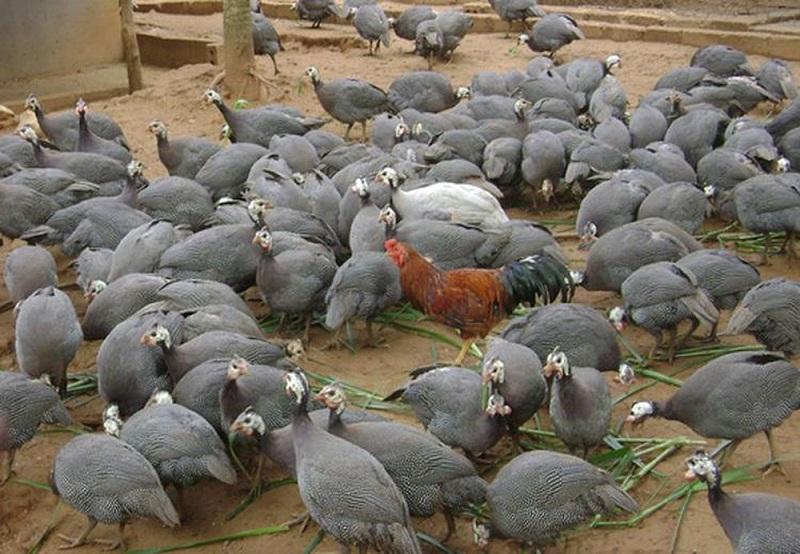 Kỹ thuật nuôi gà Sao. Thức ăn nuôi gà Sao theo từng độ tuổi