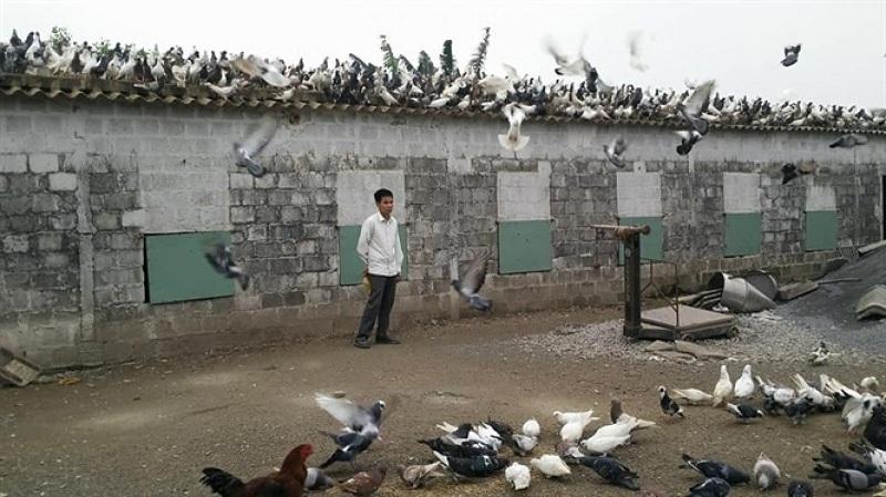 Nuôi bồ câu thả vườn. Cách nuôi chim bồ câu thả rong