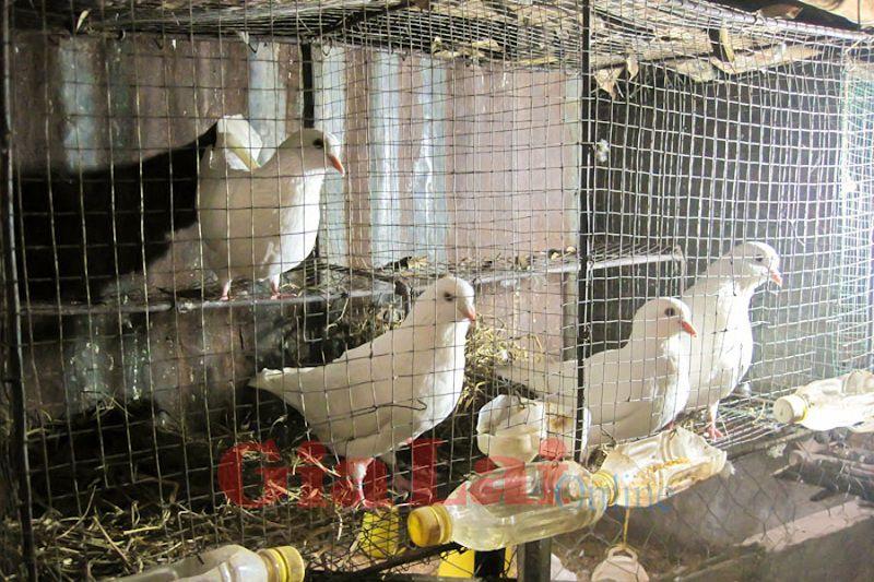 Chim bồ câu Pháp. Kỹ thuật nuôi chim bồ câu Pháp sinh sản
