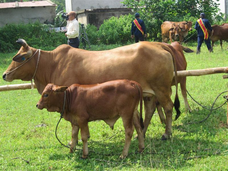 Mua bò giống ở đâu? Các trang trại bán bò giống Bắc, Trung, Nam