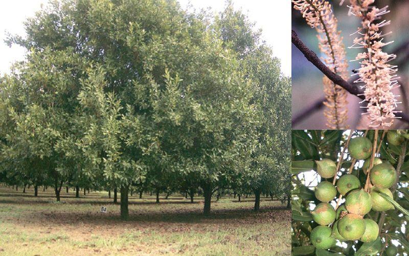 Cây mắc ca trồng được ở đâu? Kỹ thuật trồng cây mắc ca