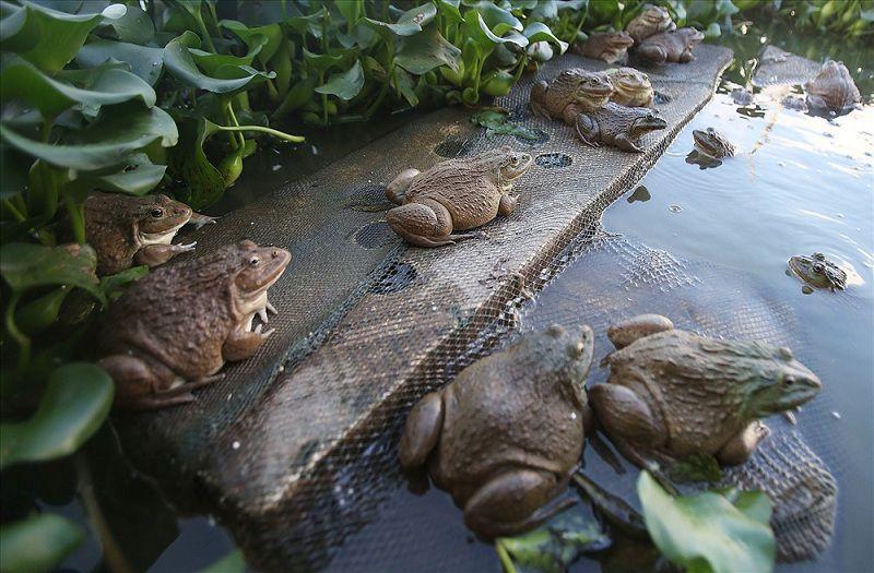 Nên cho ếch ăn gì? Thức ăn cho ếch. Cách cho ếch ăn