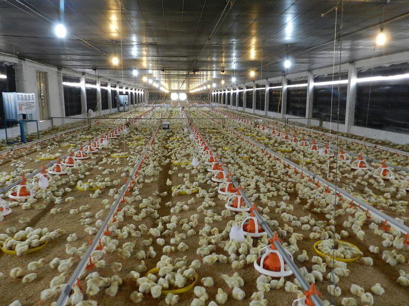 Mô hình nuôi gà công nghiệp. Chi phí xây trang trại nuôi gà công nghiệp